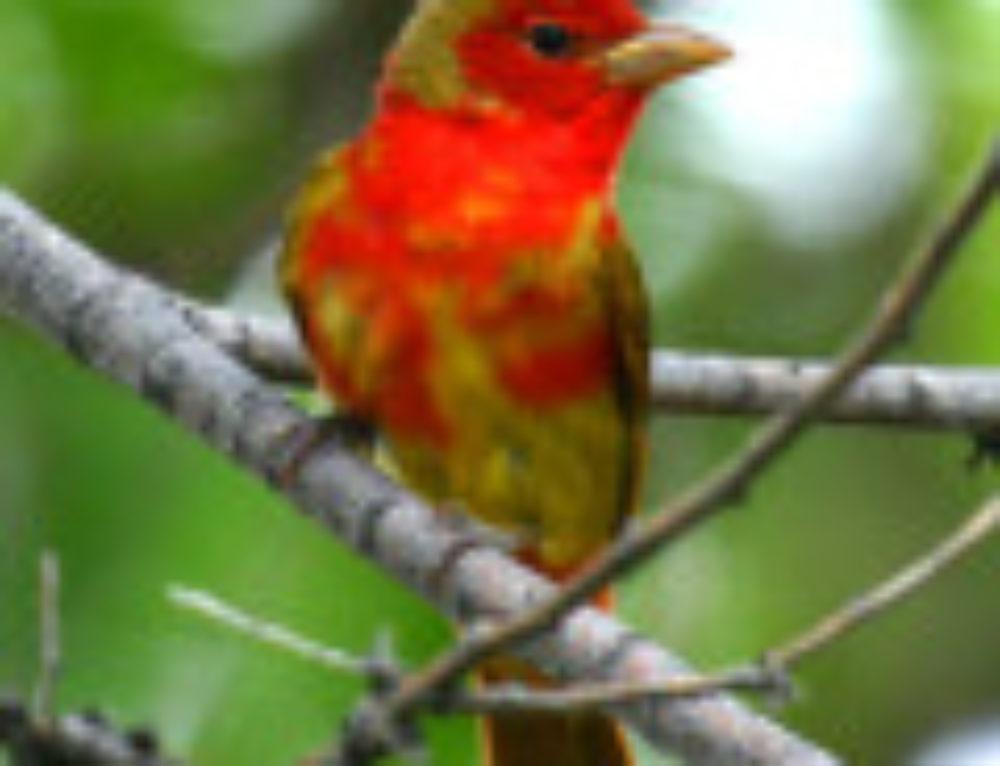 Cowlitz County-Washington Birding