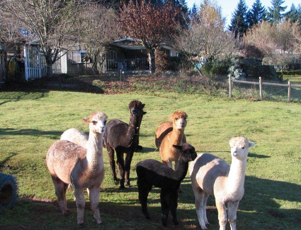 Alpaca Farm Tour (Barn Dinner)